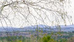 Mountain vista seen through birch leaves L4190181 (LarryJ47) Tags: leicax1