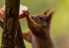 Heute gibt`s Apfel... (wernerlohmanns) Tags: wildlife natur outdoor hörnchen eichhörnchen schärfentiefe sigma150600c d7200 nikond7200 nsg deutschland