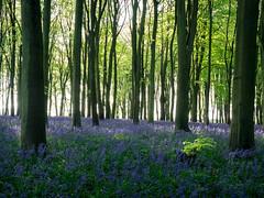 Seeking (Explored) (thriddle) Tags: badburyclump oxfordshire bluebells woodland xtransformer earlymorning