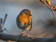 Robin (JS_71) Tags: nature wildlife nikon photography outdoor 500mm bird new spring see natur pose moment outside animal flickr colour poland sunshine beak feather nikkor d500 wildbirds planet global national wing eye watcher