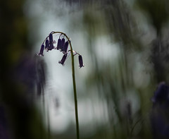 Bluebells (V Photography and Art) Tags: bluebells backlit dark perspective woodland pov f12 dof narure
