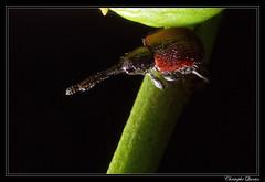 Tatianaerhynchites aequatus (cquintin) Tags: arthropoda coleoptera curculionidae tatianaerhynchites aequatus macroinsectes