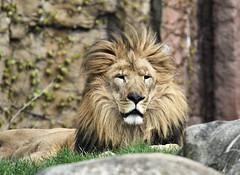 Lion (hbp_pix) Tags: hbppix harry powers franklin park zoo lion tiger gorilla tapir
