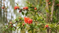 Гранатовое дерево (Punica) (unicorn7unicorn) Tags: цветы гранат дерево 365the2019edition 3652019 day120365 30apr19 spotlight colorfulnature