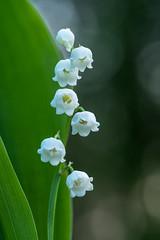 Have a nice may 1 (de_frakke) Tags: flowers lelietjevandalen meiklokje wit convallaria lily valley muguet