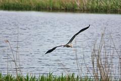 Heron (sumowesley) Tags: bird fauna hamwall heron nature