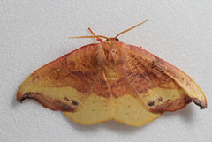 Rose Hooktip--HWW! (cotinis) Tags: insect lepidoptera moth drepanidae drepaninae oreta oretarosea rosehooktip northcarolina piedmont canonefs60mmf28macrousm bmna nc april inaturalist wingwednesday