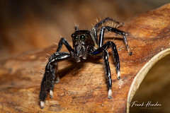 Jumping Spider Salticidae. (F.Hendre) Tags: spider arachnid salticidae pahang macro jumpingspider malaysia