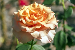 Peach Coloured Rose in Bloom (Merrillie) Tags: rose holidays natural nature australia huntervalley newsouthwales petersonschampagnehouse nsw flora travel peach hunterregion autumn outdoors wineries bloom pokolbin flower gardens
