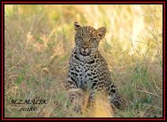 LEOPARD CUB (Panthera pardus) ...MASAI MARA.....SEPT 2018. (M Z Malik) Tags: nikon d800e 400mmf28gedvr kenya africa safari wildlife masaimara keekoroklodge exoticafricanwildlife flickrbigcats leopard cub pantheraparduc ngc npc