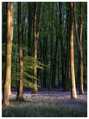 Take Me There (DeanoNC) Tags: bluebells micheldever hampshire gx9