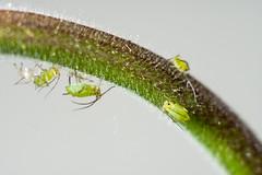 Blattläuse, Akelei-04156 (thosie63) Tags: altglas makro zwischenringe