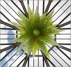 "Green Hornets Overhead (Mabacam) Tags: 2019 london kew ""kew gardens"" ""reflections nature"" exhibition chihuly ""dale chihuly"" installation ""art installation"" ""architectural glass steel star radiate green hornets greenhornets"