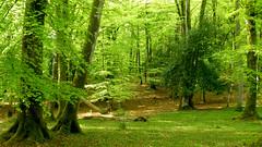New Forest NP, Hampshire, UK (east med wanderer) Tags: england hampshire uk forest woodland lyndhurst newforestnationalpark nationalpark beech oak holly