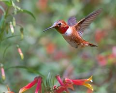 Whirlwind... (ragtops2000) Tags: wild nature hummingbird rufous male flight wings quick fast whirlwind arizona bif small little mediumsized rufousbrown spring wildlife nikond500
