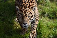 male jaguar Napo (travellermike6286) Tags: jaguar