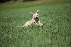 Because Im happy... (Nora077) Tags: perro de agua labrador