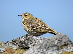 Meadow Pipit (doranstacey) Tags: nature wildlife birds meadow pipit peak district moors moorland tamron 150600mm nikon d5300