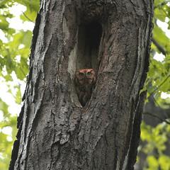 Eastern Screech-owl (jryandoherty) Tags: screech owls