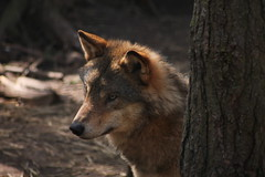 European Wolf (JPW_Photography) Tags: wolf european rzss highlandwildlifepark scotland