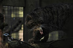Scottish Wildcat with Lunch (JPW_Photography) Tags: wildcat scottish rzss highlandwildlifepark feline cat feeding