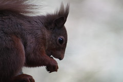 Red Squirrel (JPW_Photography) Tags: squirrel red rzss highlandwildlifepark