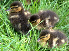 Ducklings in the grass (Tony Worrall) Tags: preston lancs lancashire city welovethenorth nw northwest north update place location uk england visit area attraction open stream tour country item greatbritain britain english british gb capture buy stock sell sale outside outdoors caught photo shoot shot picture captured ilobsterit instragram photosofpreston birds wild wildlife fowl beauty cute young bird natural outdoor nice duck ducklings baby