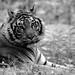 parc des félins - tigre n&b
