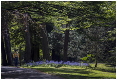 Springtime in Bournemouth Gardens (clive_metcalfe) Tags: bournemouth dorset gardens england uk springtime colour grass bluebells pine pinetrees sunlight person walking