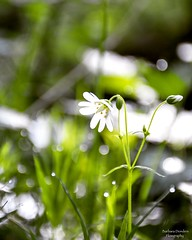 Smell the fragrance of Spring (barbara_donders) Tags: natuur nature white wit spring lente flower bloem gras grass bokeh macro dof mooi beautiful prachtig magisch magical