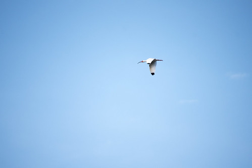 White Ibis Flying