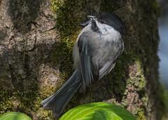 Black-capped Chickadee (nickinthegarden) Tags: blackcappedchickadee matsquitrailpark abbotsfordbccanada