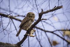 Northern pygmy-owl- Glaucidium gnoma (Marisa.Ishimatsu) Tags: pygmyowl glaucidium gnoma northernpygmyowl glaucidiumgnoma owl bird lizard westernfencelizard predation