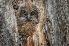 little owelet (Gaby Swanson, Photographer) Tags: owl raptor raptors mageemarshwildlifearea nest ohio ohiowildlife naturephotography wildlife wildlifephotography wildanimals greathornedowl owelet