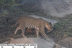 The Leopard (Africa Nature Photography) Tags: tanzania safari tour africa wildlife photo serengeti ngorongoro kilimanjaro zanzibar