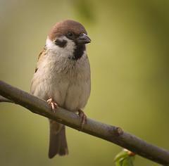 Tree sparrow (hedera.baltica) Tags: sparrow treesparrow eurasiantreesparrow wróbel mazurek wróbelmazurek passermontanus
