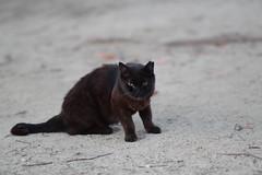 Black Cat (Flexible Negativity) Tags: 猫 cat 貓 meow ねこ caturday nuko kitten kitty k70 pentax blackcat
