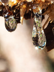Baumharz (michaelmueller410) Tags: baumharz harztropfen tropfen reflektion reflection umgebung bäume baum fichte gum resin tree spruce macro makro closeup sunlight sonnig nature wald harz forest woods olympus60mmf28macro