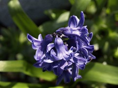 Hyazinthe (ISOZPHOTO) Tags: isoz isozphoto hyazinthe blau blüte blume garten pflanze olympus zuiko e330 35mm 2019 bokeh nahaufnahme schärfentiefe blue bleu plant dof depthoffield macro makro dslr spiegelreflex evolt oly zuiko35mm flower bloom beautifullight zuikomacro