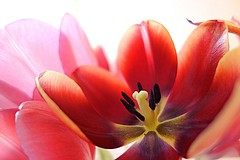 light in tulip petals (majka44) Tags: tulip red petals light abstract flower spring nature 2019 colors nice soft macro