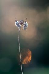 Bombylius spec. | Wollschweber (maldiesmaldas.de) Tags: nature naturerocks naturelovers natur orchid samyang samyang135 samyang135mm samyang135mmf2 olympus frühling karlstadt franken mainfranken maintal bombylius wollschweber makro macro insect fly
