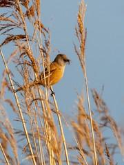 Bearded Tit (kc02photos) Tags: beardedtit panurusbiarmicus cley norfolk england uk birdphotography