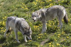 Ulve (Walter Johannesen) Tags: ulv wolf rovdyr dyr animal predators