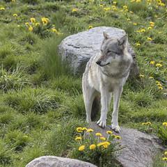 Ulv 2 (Walter Johannesen) Tags: ulv wolf rovdyr dyr animal predators