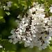 Robinia pseudoacacia, Black Locust