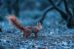 Red Squirrel (Asa-Photography) Tags: red squirrel nikon d850 tamron 70200 28 nature wildlife wildlifephotography naturephotgraphy nikond850 national nikond500 wild forest moody misty