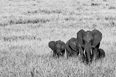 Young Elephant - Tanzania / Serengeti (dominik.lorenz) Tags: elefant tansania serengeti tanzania elephant afrika africa bw blackandwhite young