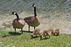 ...a new family (Jim Atkins Sr) Tags: geese goslings lake fairfieldharbour northcarolina sonya58 sony sonyphotographing wildlife canadageese