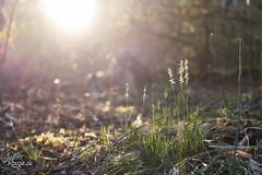 Spring Light II (judithrouge) Tags: light contrejour gegen licht lichtstimmung spring frühling boden ground floor grass gras evening abend abendlicht