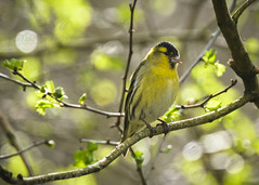 Sunshine Siskin (Fourteenfoottiger) Tags: finch bird sunshine siskin sinussinus eurasiansiskin bokeh woodland countryside trees woods yellow golden perched spring